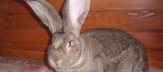 Кролик породы бельгийский великан (Фландр)