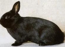 Кролик аляска