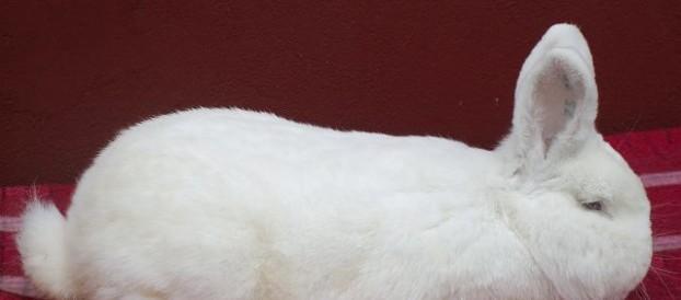 Новозеландская белая