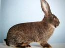 Кролик породы ризен или немецкий великан