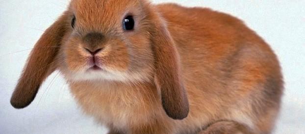 Покупая декоративного кролика