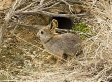 Айдахский кролик