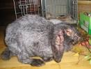 Девять инфекционных заболеваний кроликов.