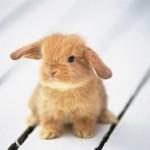Разница между карликовым и обычным кроликом