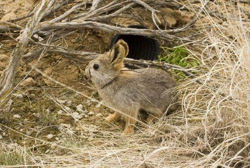 Айдахский кроли,