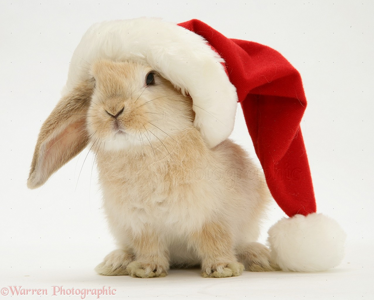 Rabbit in a Santa hat