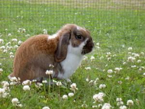 Выгул кролика